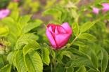 RoseBlooming-05-24-14