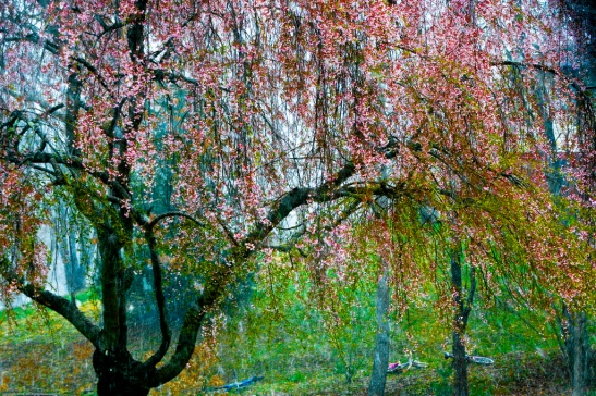 Weeping Cherry Tree_3421578500_l
